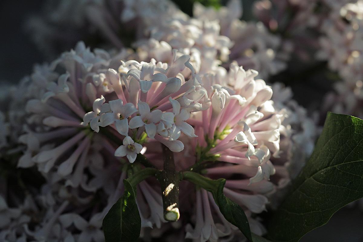 lilac-evening.jpg
