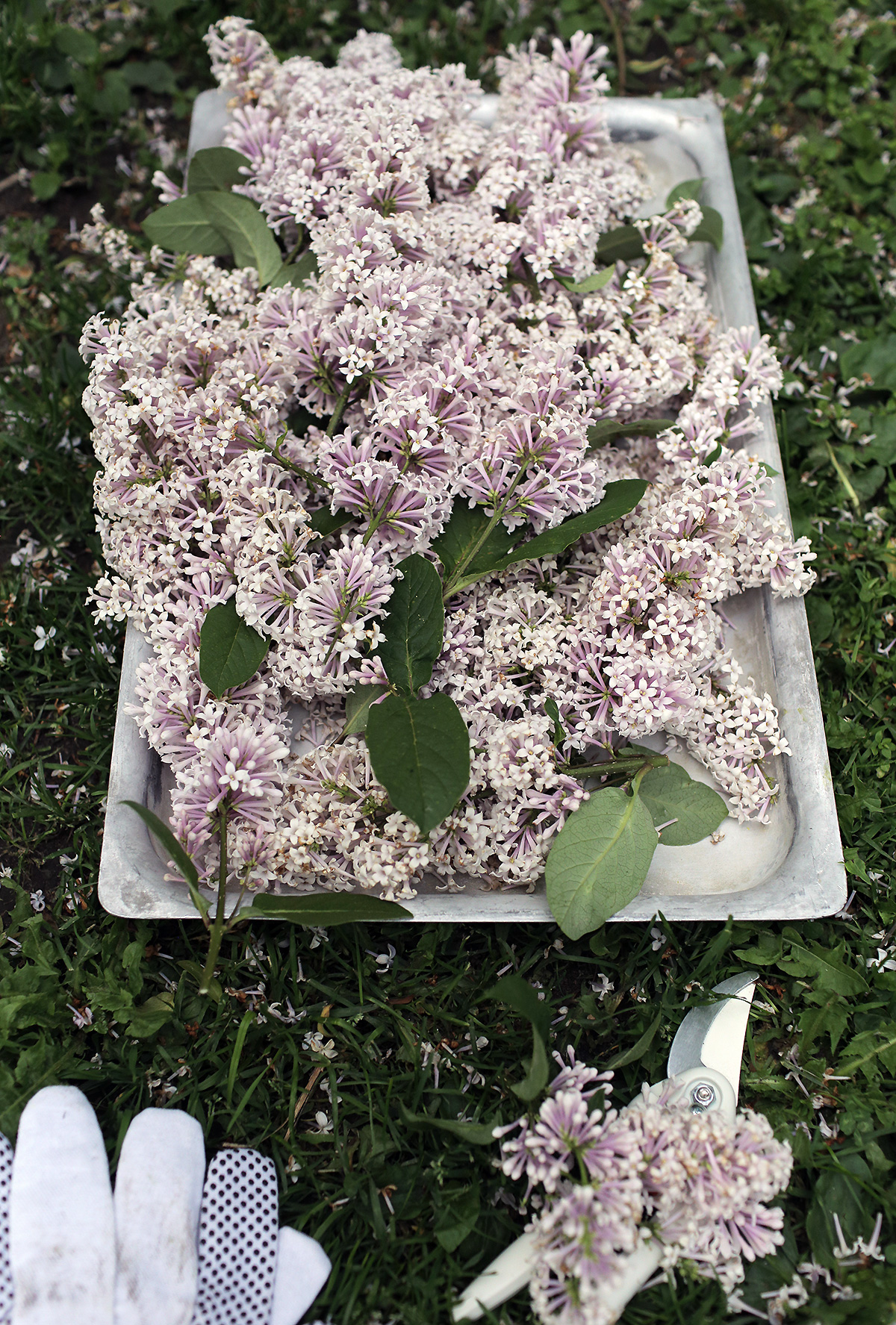 lilac-flowers-garden.jpg