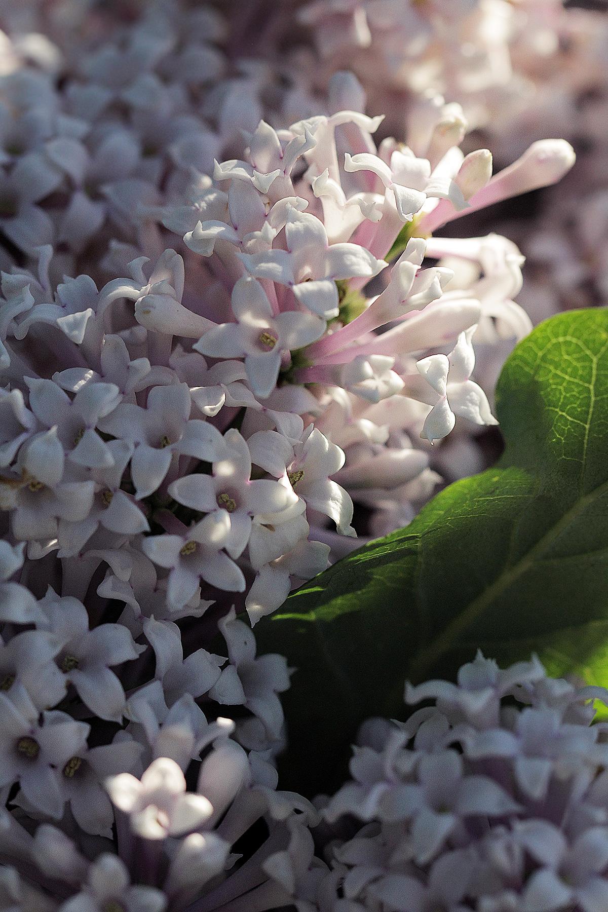 lilac-lilac-flowers.jpg