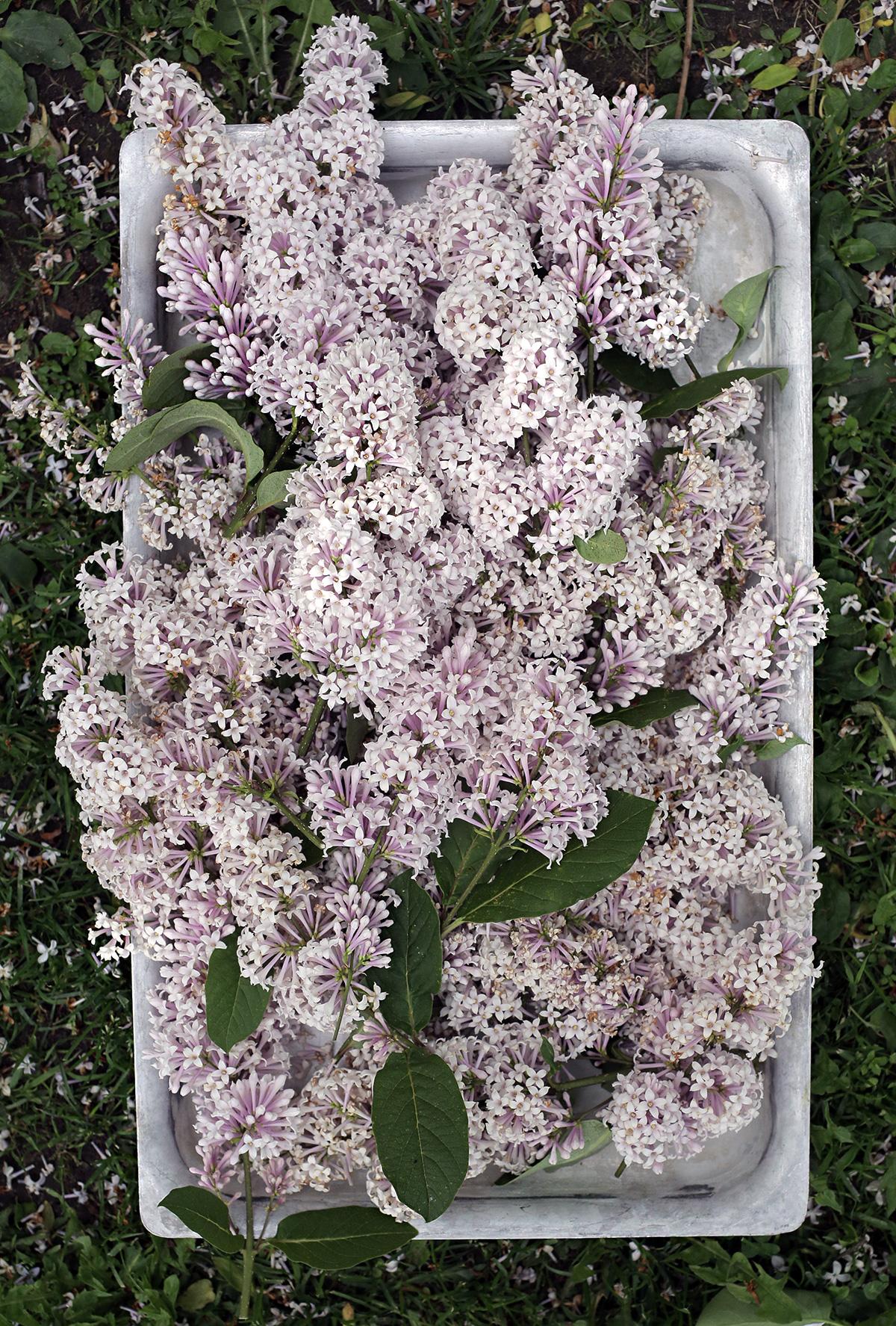 syreeni-kukkia-lilac.jpg