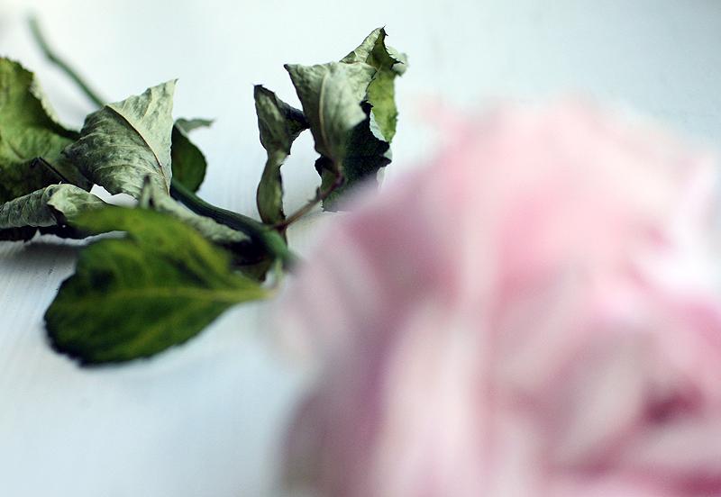 kuiva-ruusu.jpg
