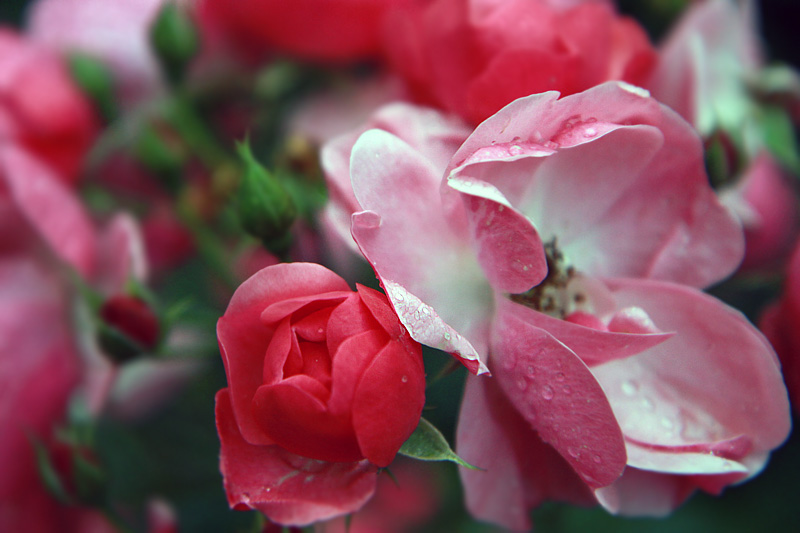 punaisia-ruusuja.jpg
