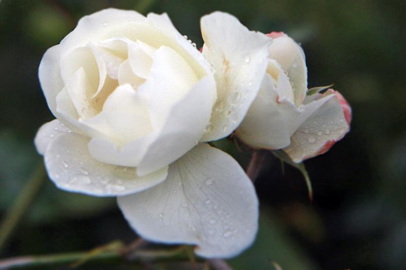 wet-white-rose.jpg