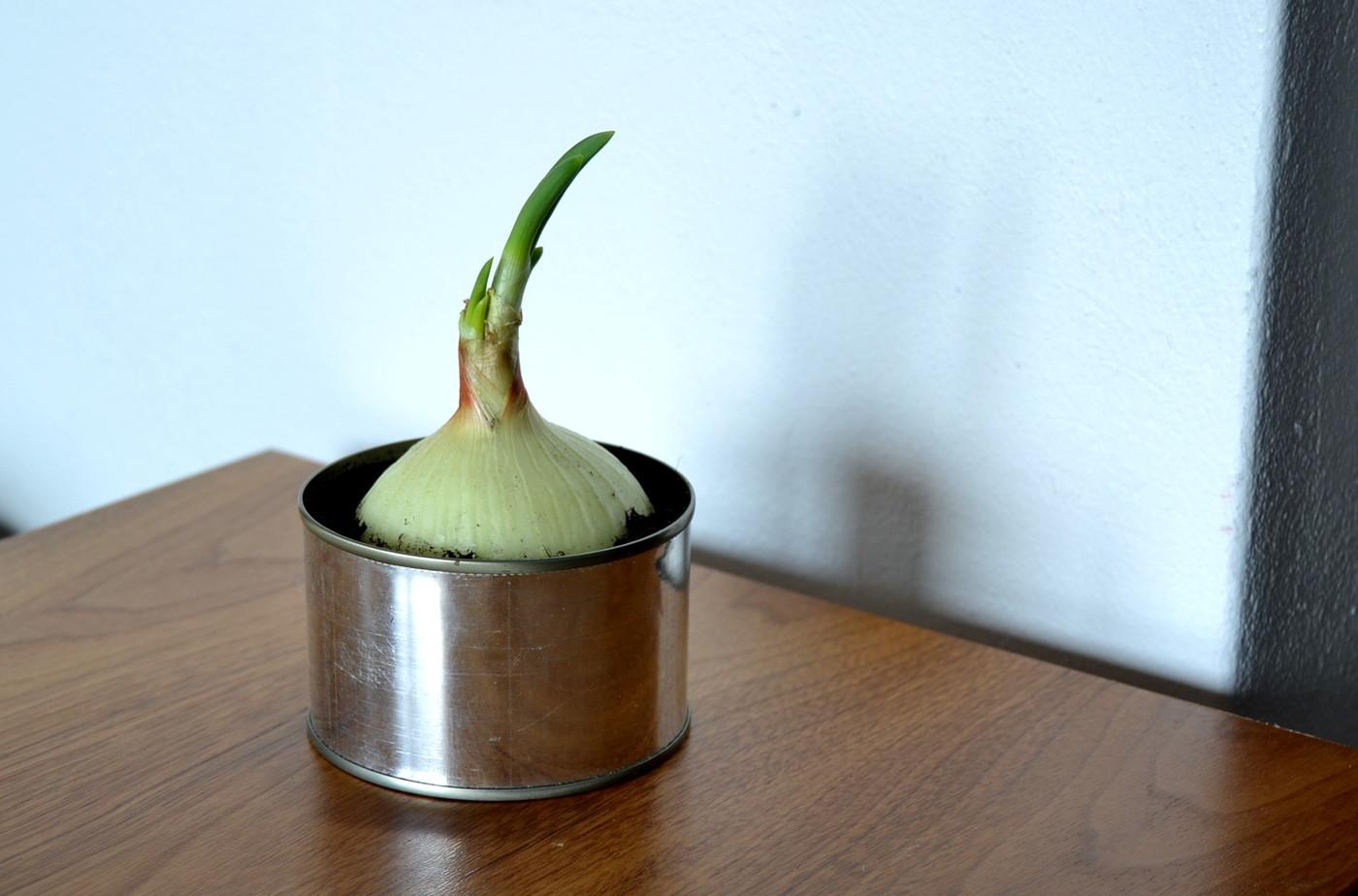 Tumpelon viherpeukalon kasvi