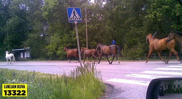 Hevoset karkaa!