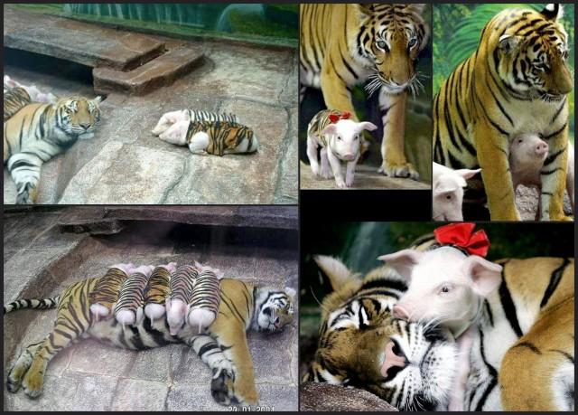 mother-tiger-adopts-piglets-640x459.jpg