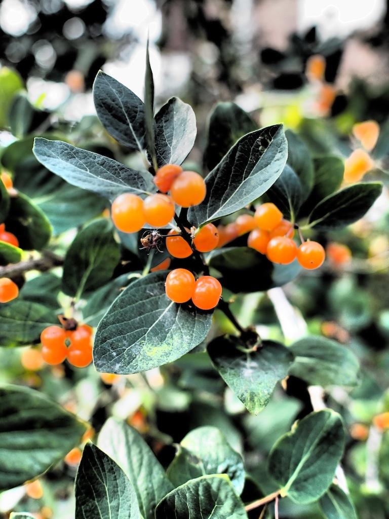 oranssimarja.JPG