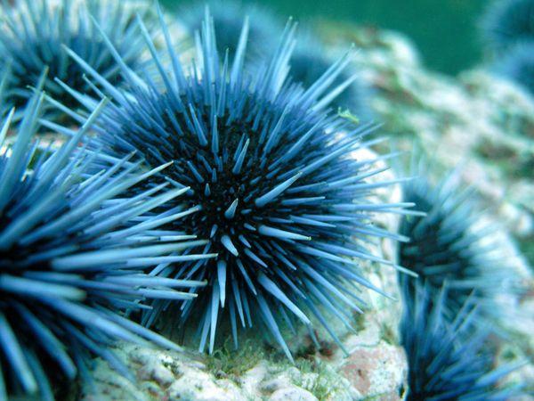 sea-urchins08-sea-urchin_17935_600x450.jpg
