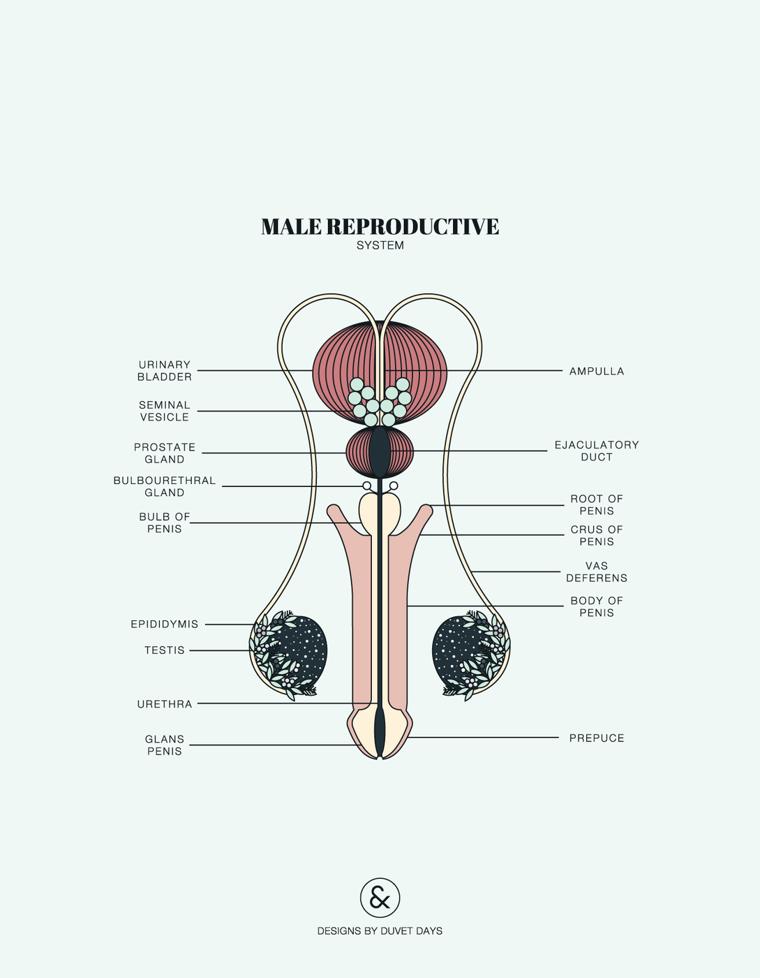 Duvet-Days_Anatomy-Illustrations_Male-Reproductive.jpg