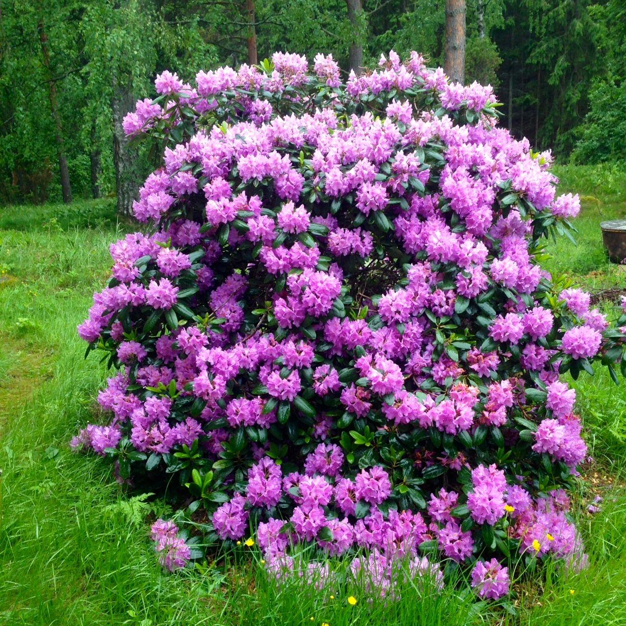 Rhododhendron