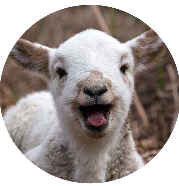 lammas-lamb.jpg