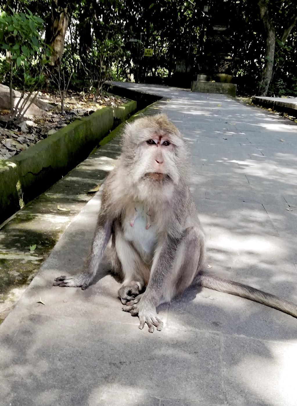 Monkey at Monkey forest.jpg