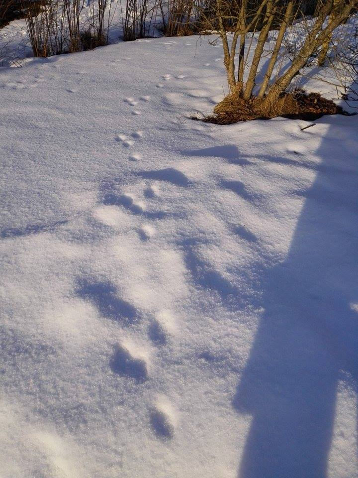 jäniksen jäljet lumella.jpg