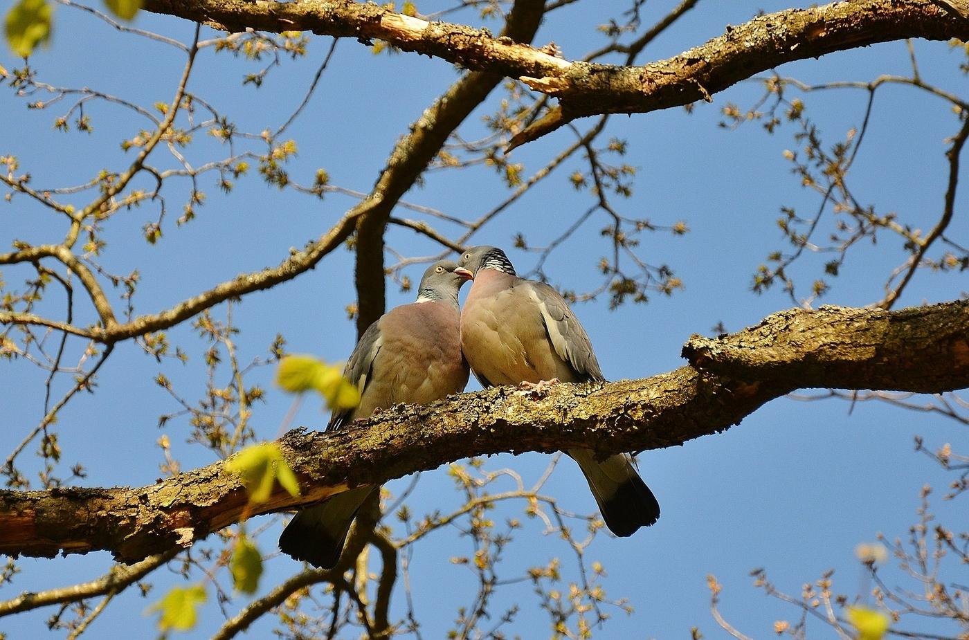 pigeons-50005_1920.jpg