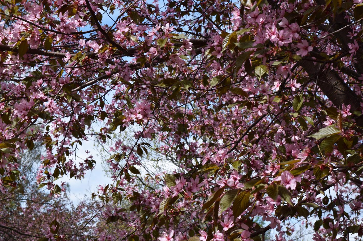 kirsikat2.jpg