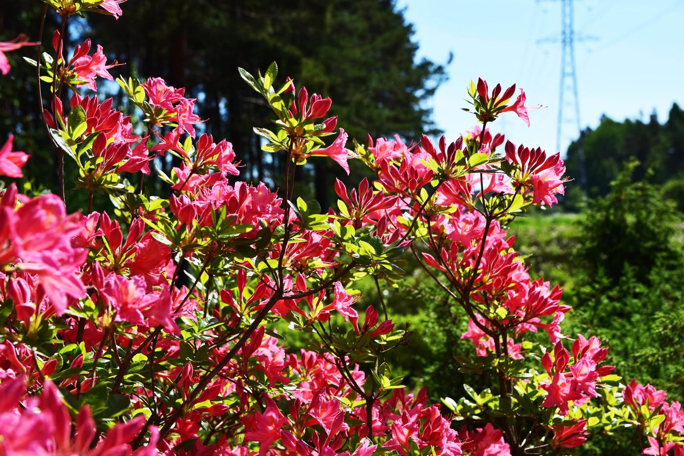 alppiruusupuisto7.jpg