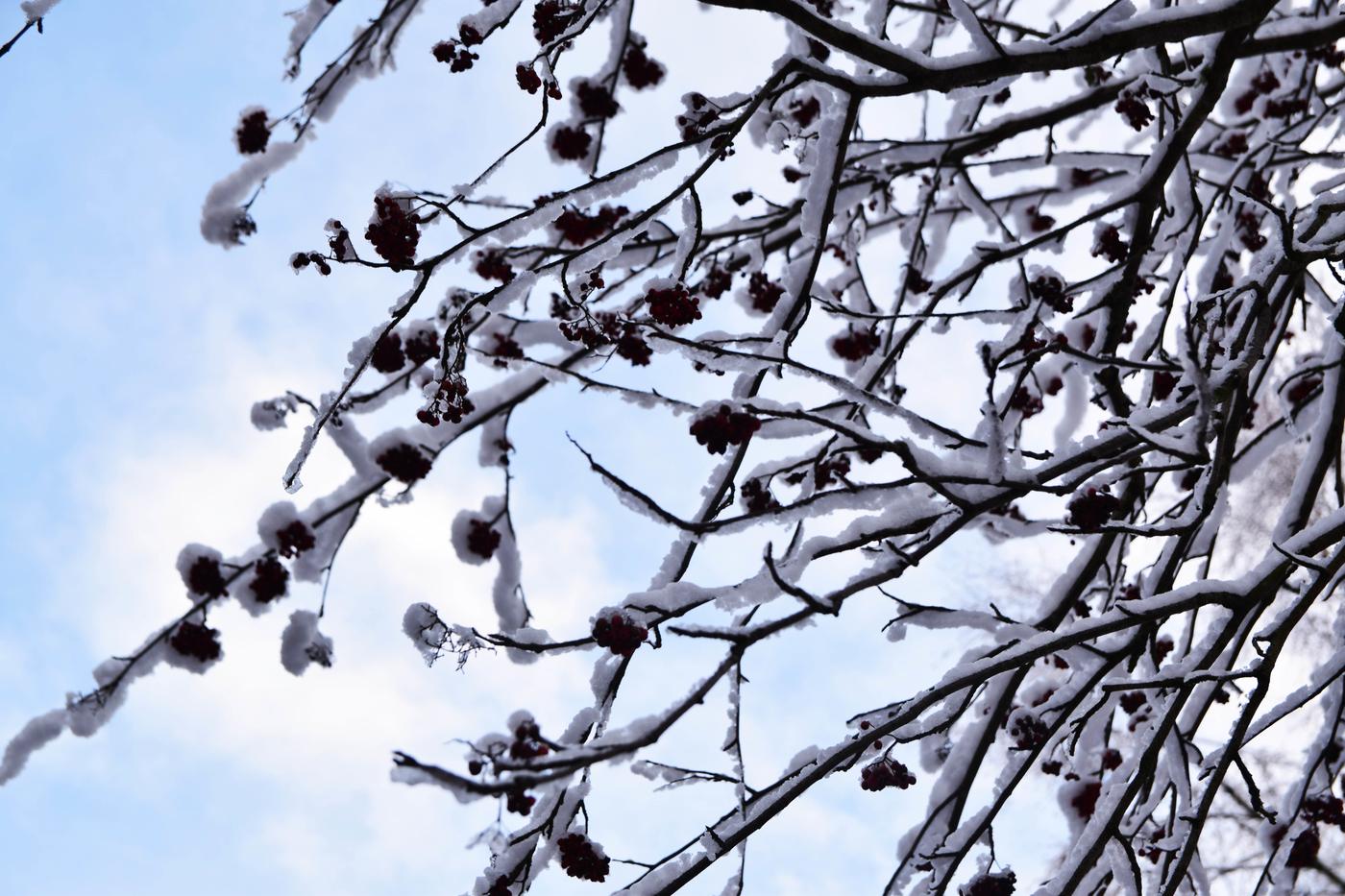 pihlajanmarjat talvi.jpg