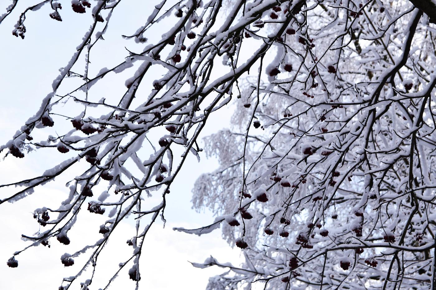 pihlajanmarjat talvi2.jpg