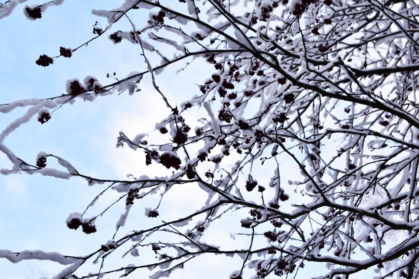 pihlajanmarjat talvi3.jpg