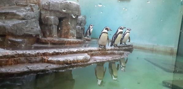 Aivan mahdottoman söpö pingviinijoukko!