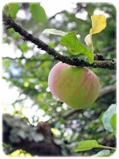 omenapuu.jpg