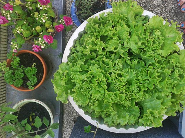 Lettuce Ingrid.jpg