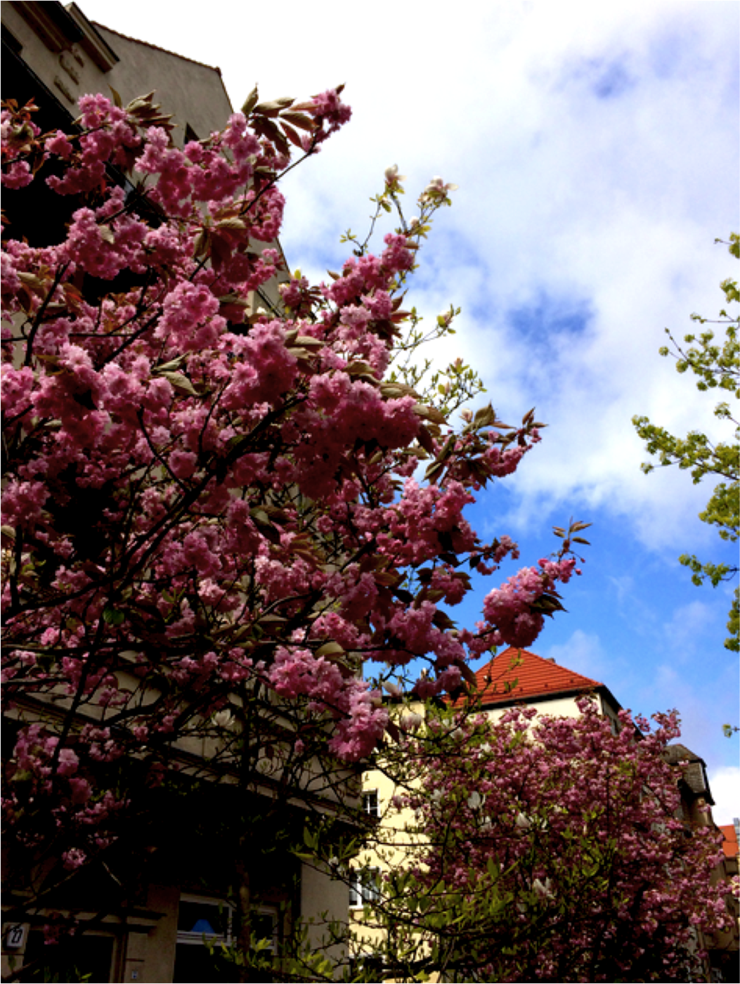 kirsikkapuu.png