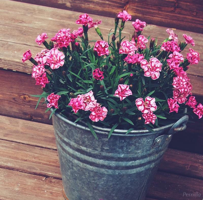 kukkia4.JPG