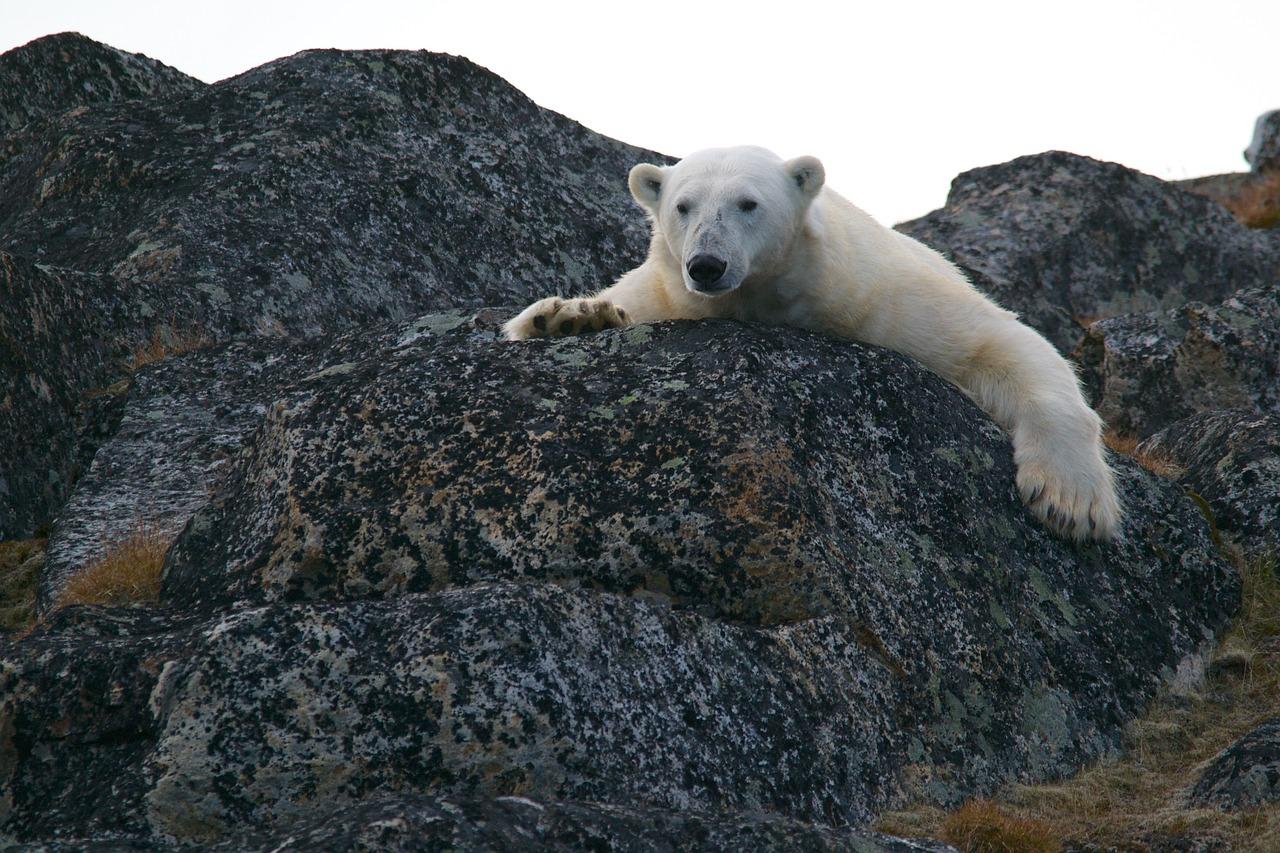 polar-bear-828995_1280.jpg