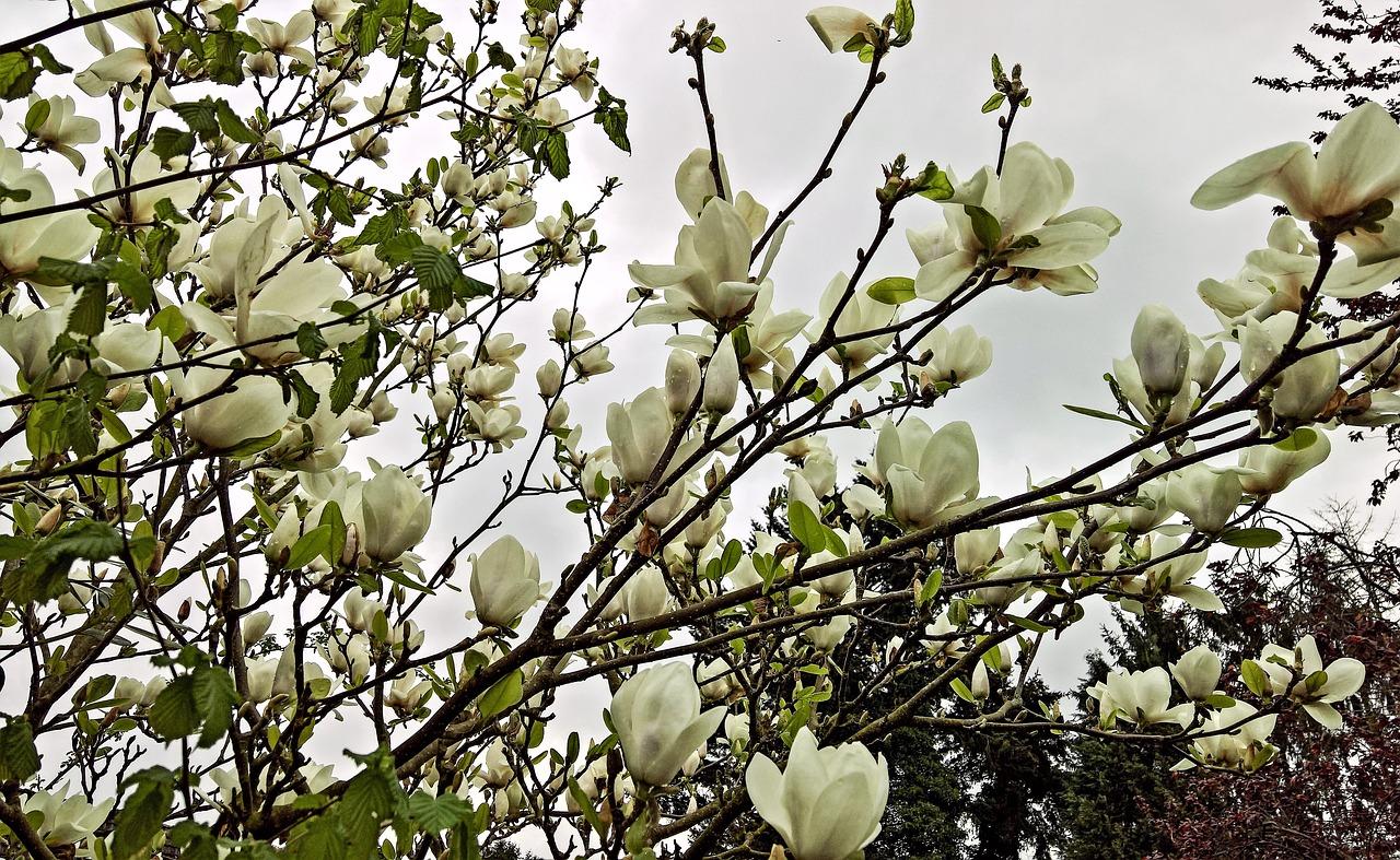 magnolia-3355348_1280.jpg