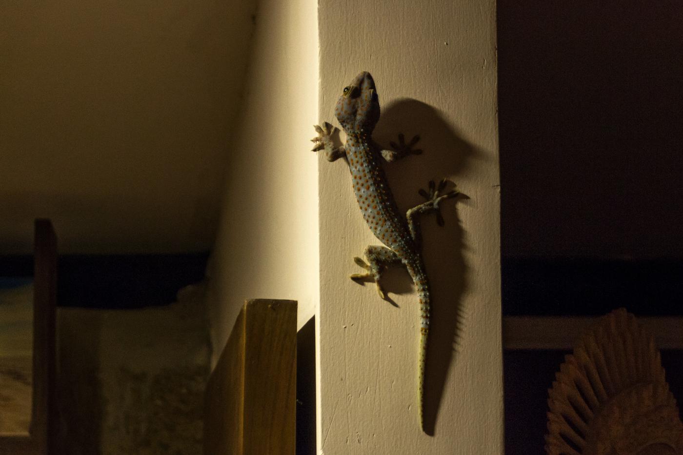 Gecko-phu-quoc.jpg