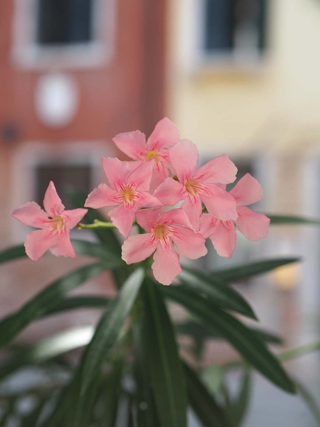 vaaleanpunainen-kukka.jpg