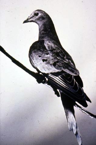 martha_last_passenger_pigeon_1914.jpg