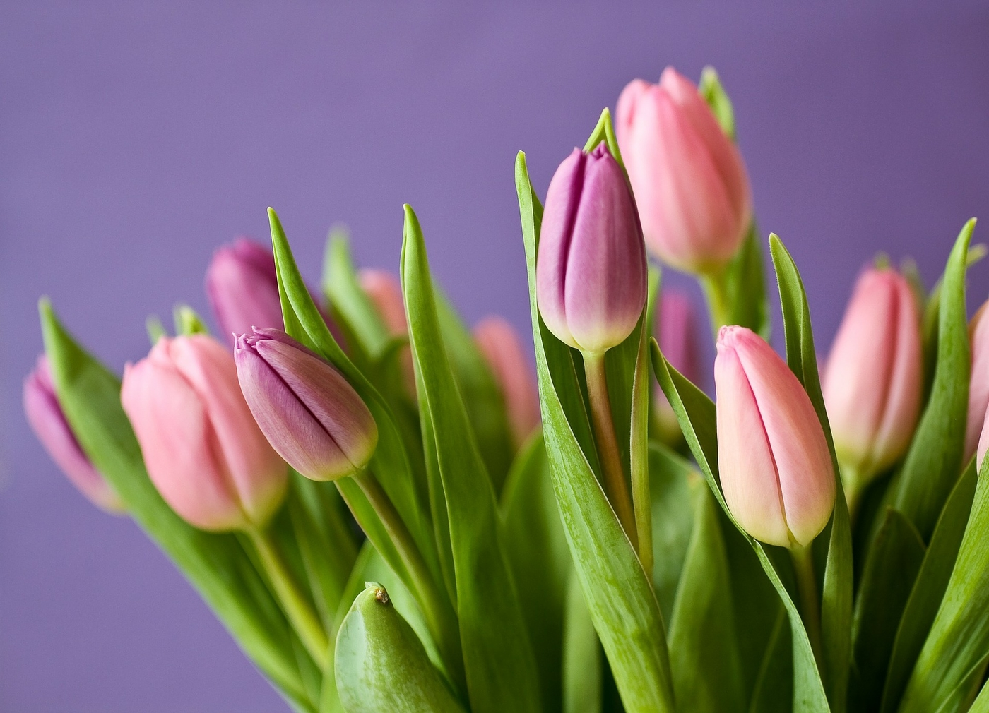 tulips-320151_1920.jpg