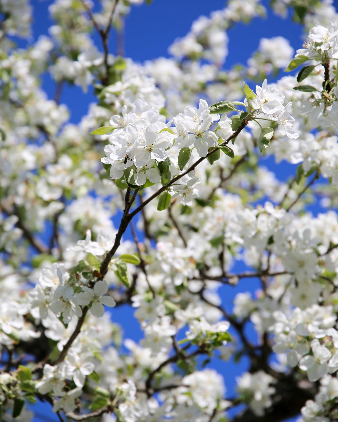 Herttoniemen siirtolapuutarha - Omenapuut kukkivat - 01.jpg