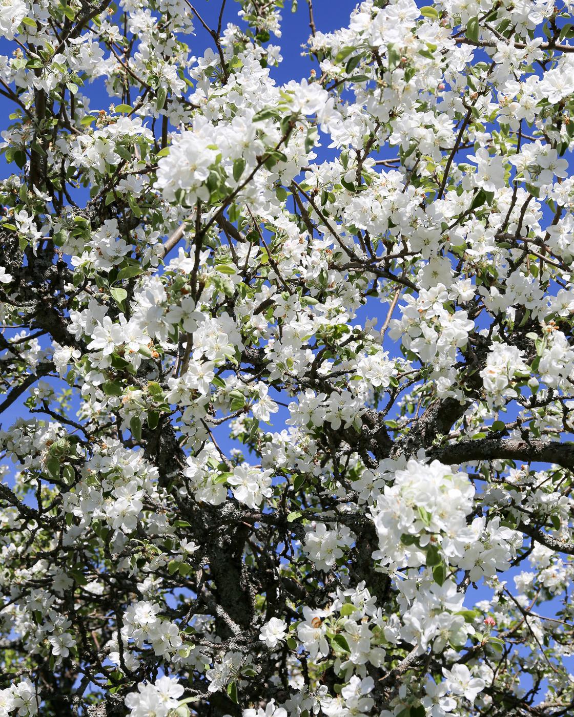 Herttoniemen siirtolapuutarha - Omenapuut kukkivat - 02.jpg