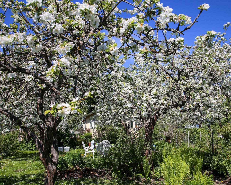 Herttoniemen siirtolapuutarha - Omenapuut kukkivat - 03.jpg