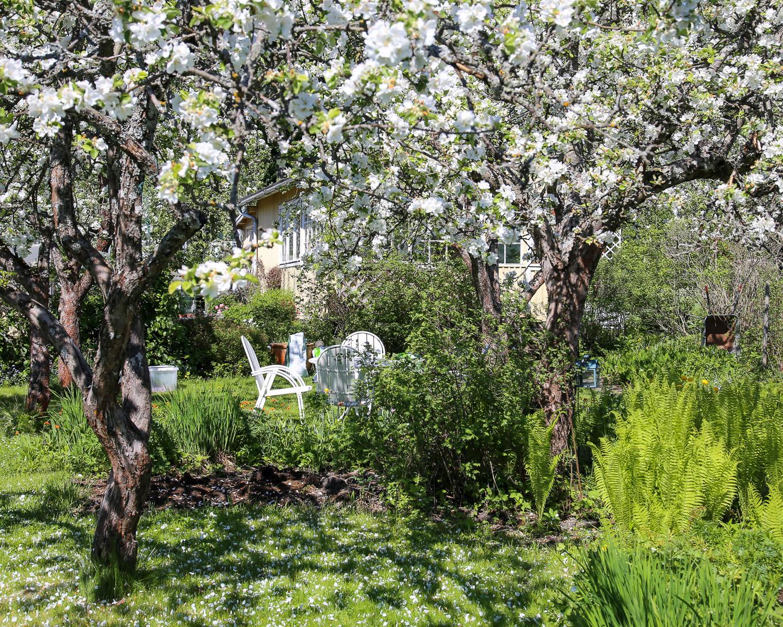 Herttoniemen siirtolapuutarha - Omenapuut kukkivat - 04.jpg