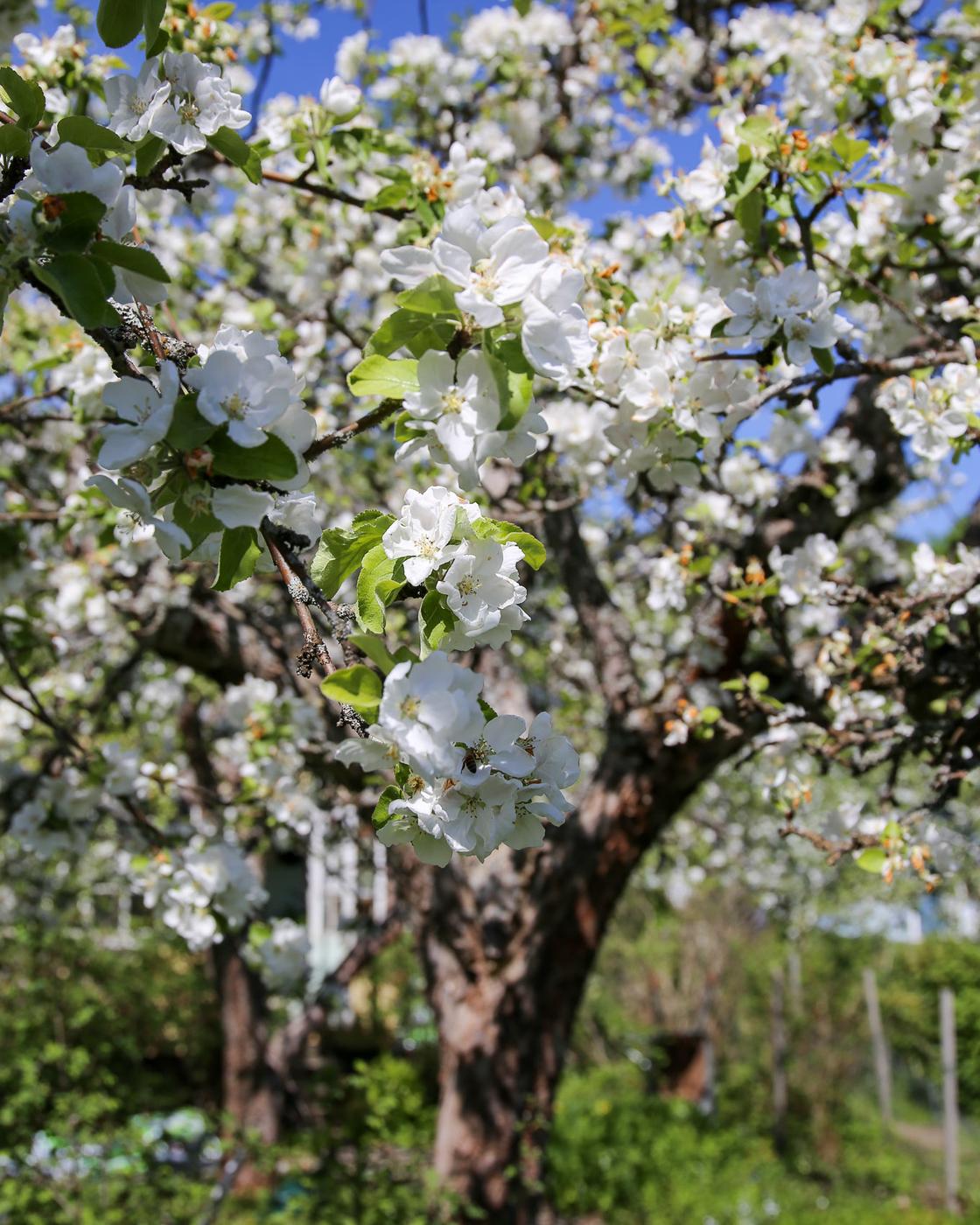 Herttoniemen siirtolapuutarha - Omenapuut kukkivat - 06.jpg