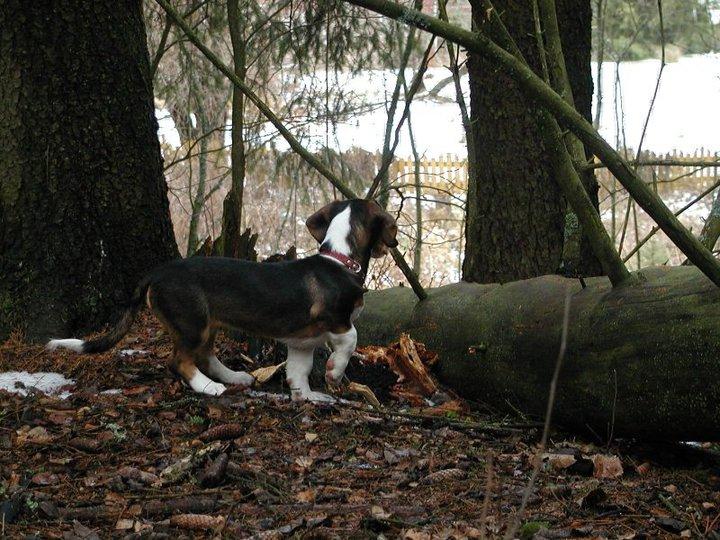 Hippu koira metsä.jpg