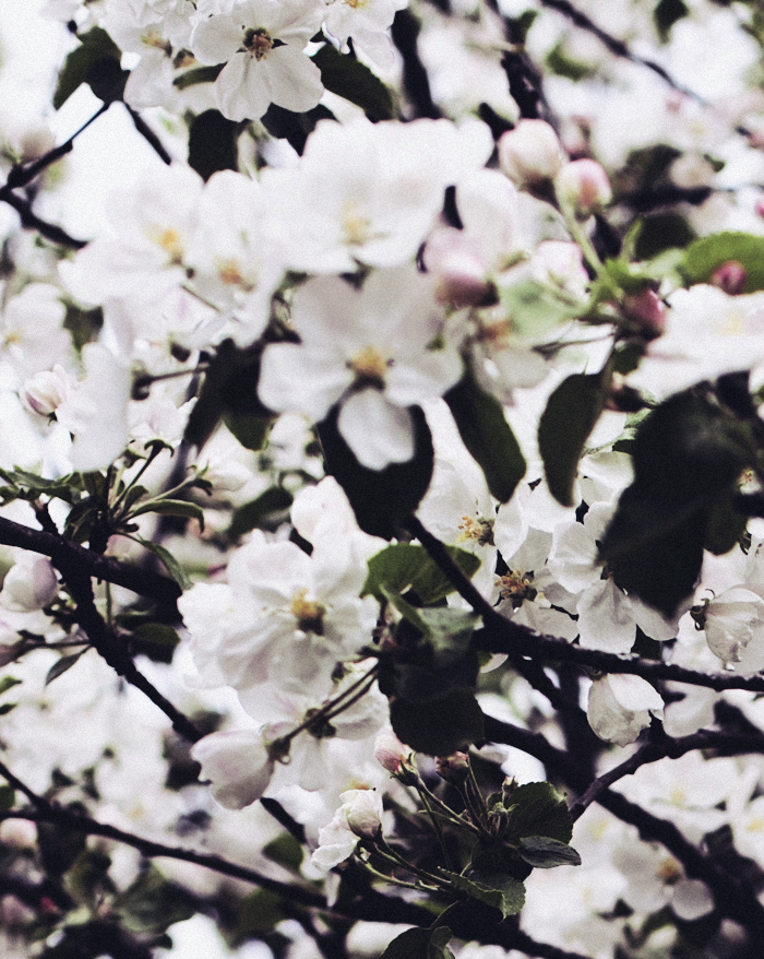 Blossoms2_suvisurlevif.jpg