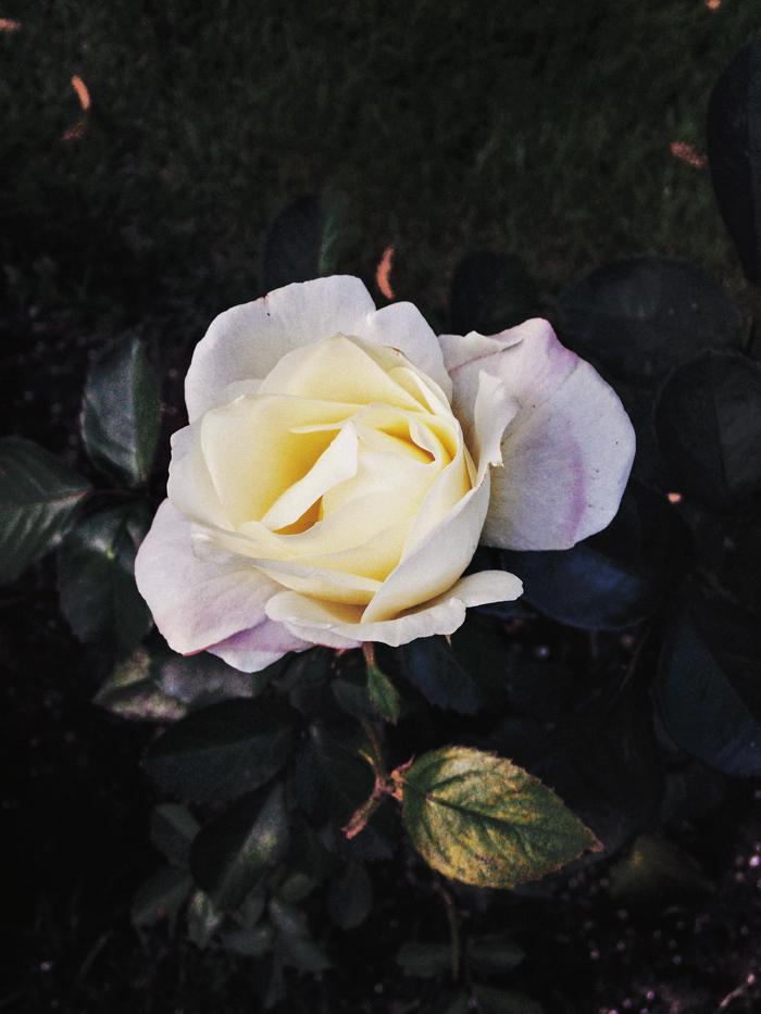 Ruusu1_suvisurlevif.jpg