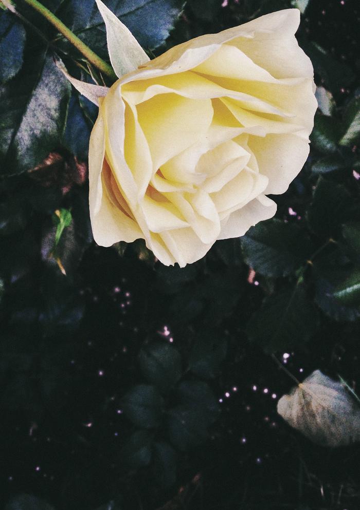 Ruusu2_suvisurlevif.jpg
