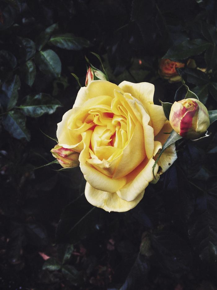 Ruusu_suvisurlevif.jpg