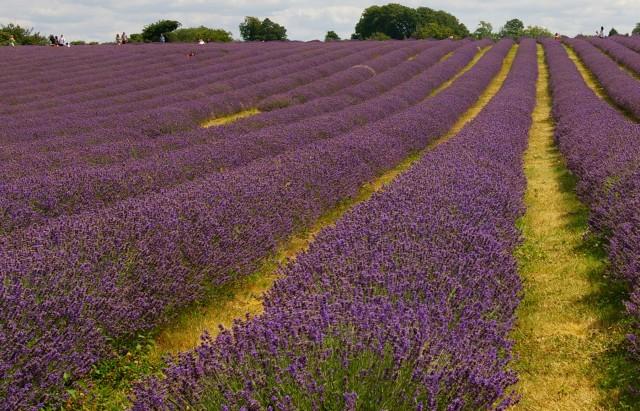 field-of-lavender-640x411.jpg