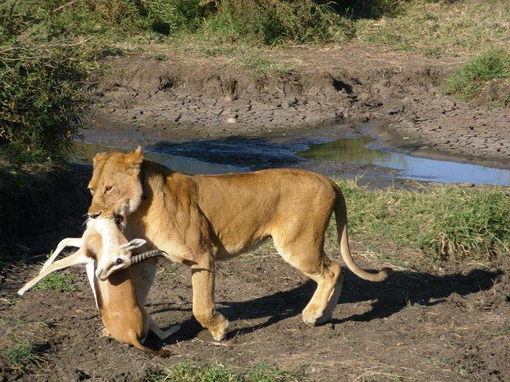 leijona_saalis.jpg