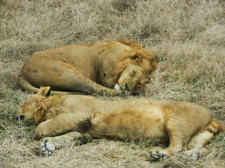 leijonat_nukkuu.jpg