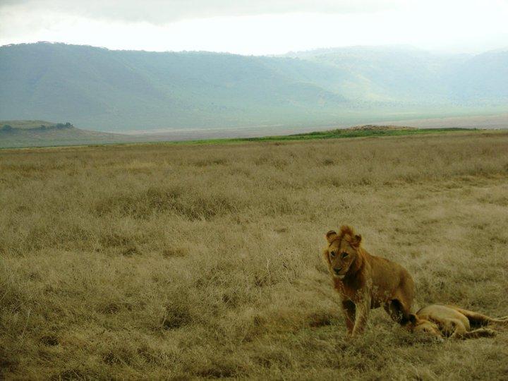oikeat_leijonat.jpg