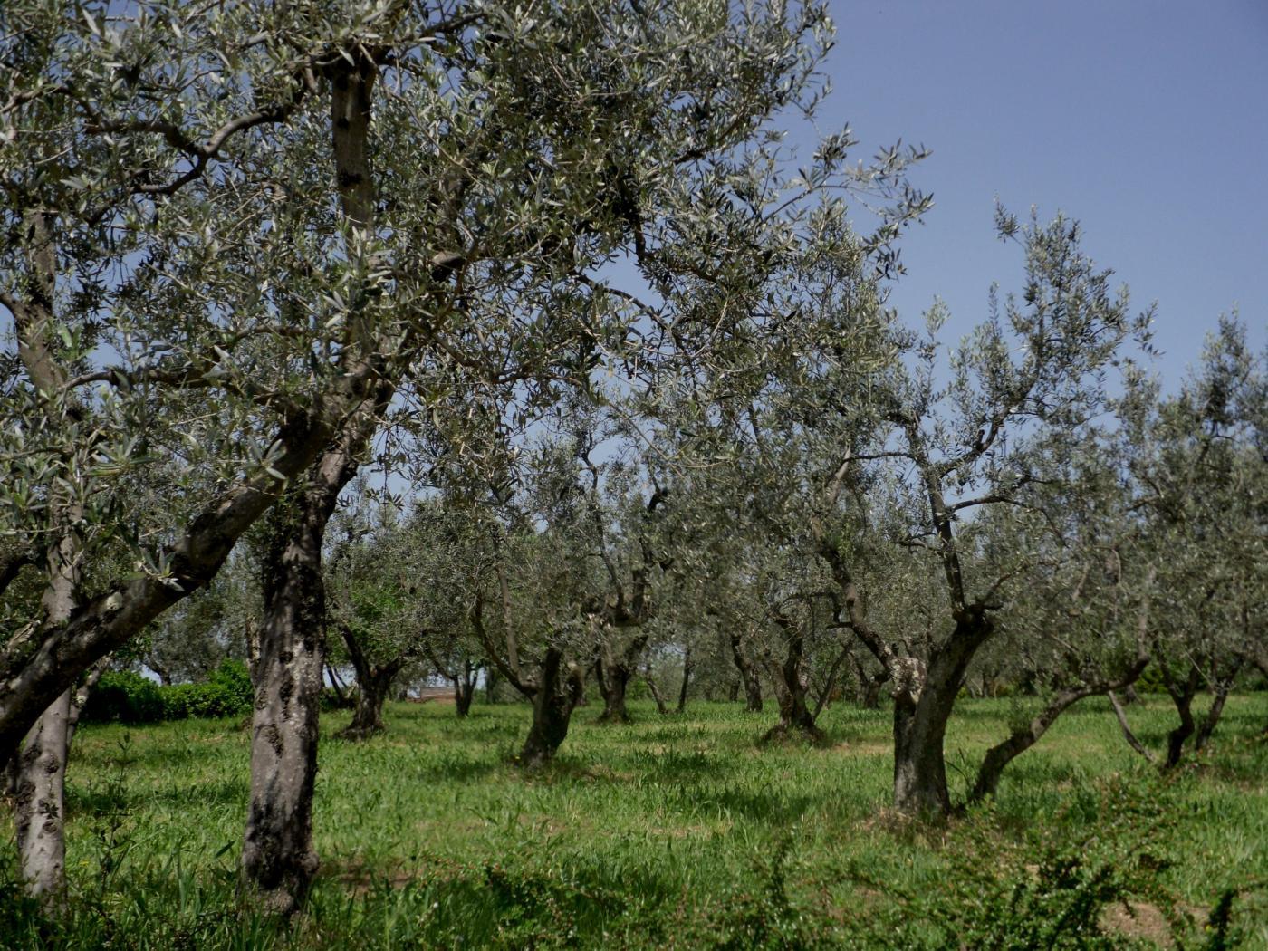 oliivipuita.jpg