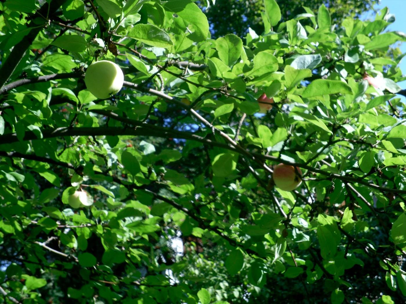 omenat.jpg